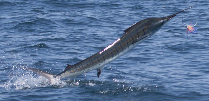A nice sailfish jumping, one of the fastest fish in the sea. Game Fishing Charters offshore from South West Rocks